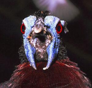 Bulwers pheasant from Borneo-Gerald Cubitt www.agpix.comcubitt