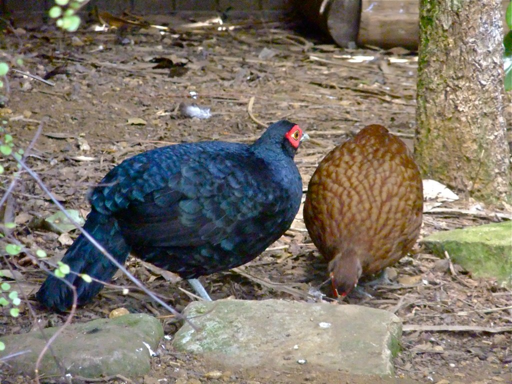 Salvadori's Pheasant